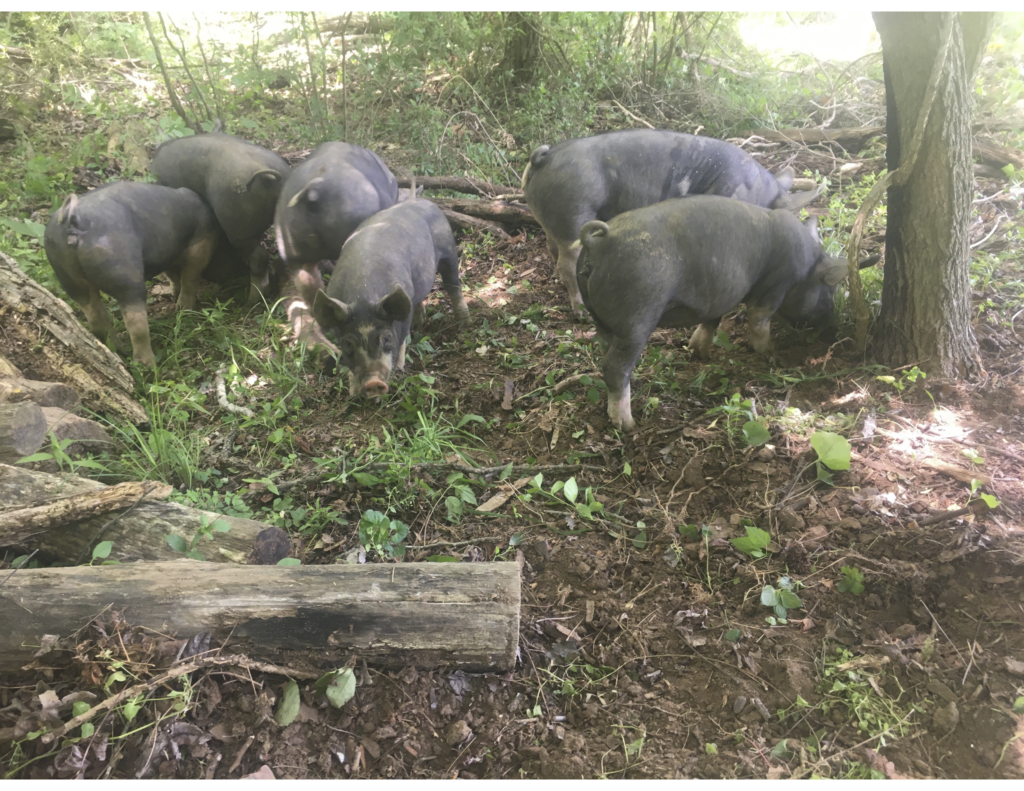 Pigs Rooting Around at Longview Farm